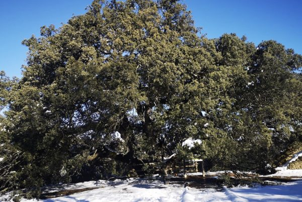 Giant Holm Oak Tree